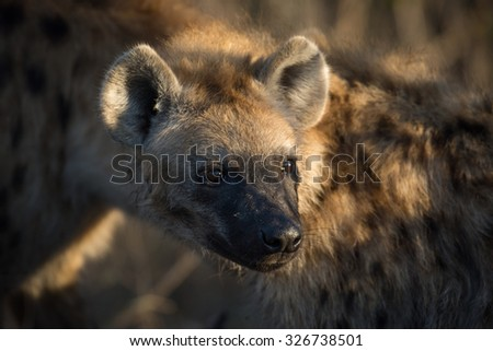 Portrait of a spotted hyena at a giraffe kill in Sabi Sands, South Africa - stock photo