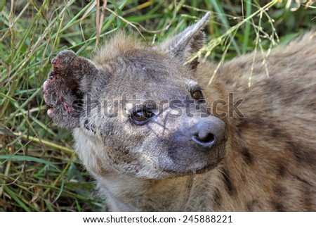 Portrait of a spotted hyena, Crocuta crocuta. Also unknown as laughing hyena it is a scavenger predator of the savannah - stock photo
