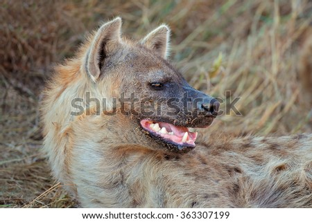 Portrait of a spotted hyena (Crocuta crocuta) showing its powerful jaws, South Africa