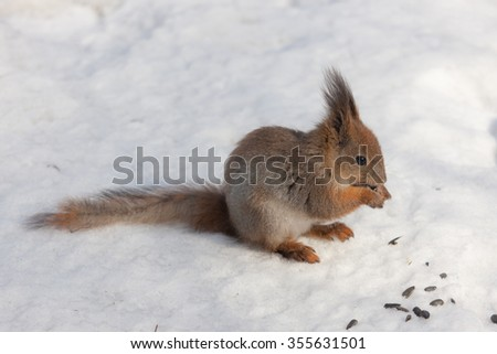 Portrait of a squirrel in the snow