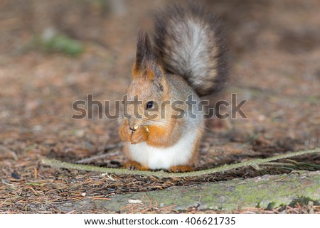 Portrait of a squirrel on the ground closeup - stock photo
