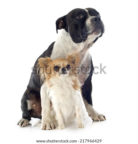 portrait of a staffordshire bull terrier and chihuahua in front of white background