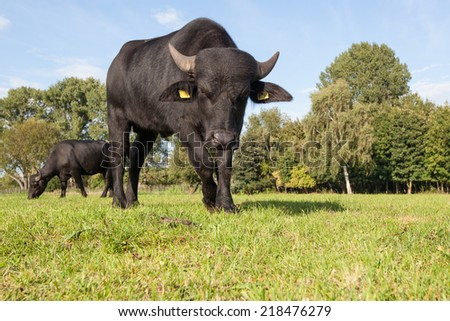 portrait of a standing asian black water buffalo on a green meadow - stock photo