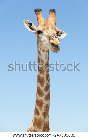 portrait of a standing giraffe with open mouth in front of a blue sky