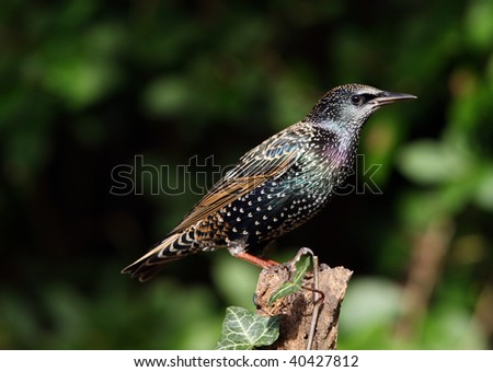 Portrait of a Starling