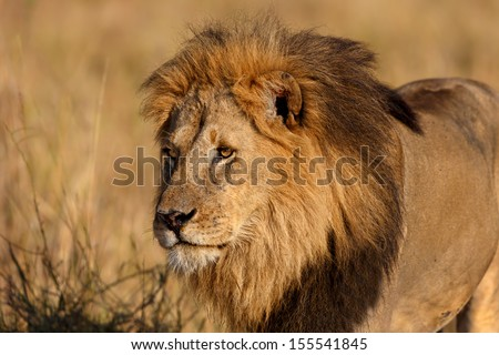 Portrait of a strong and beautiful Lion in Masai Mara, Kenya