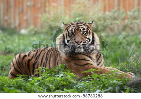 Portrait of a sumatran tiger
