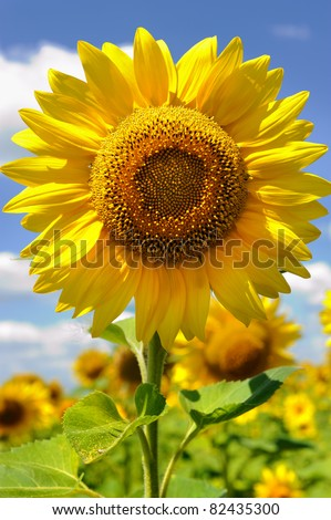portrait of a sunflower in the field - stock photo