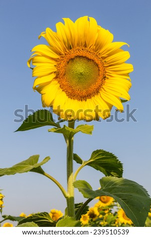 portrait of a sunflower in the field with blue sky - stock photo
