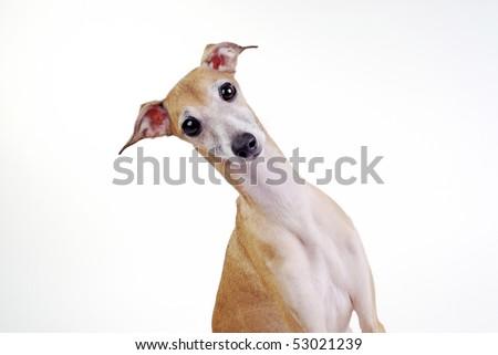 Portrait of a surprised dog Italian greyhound - stock photo