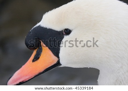Portrait of a swan - stock photo