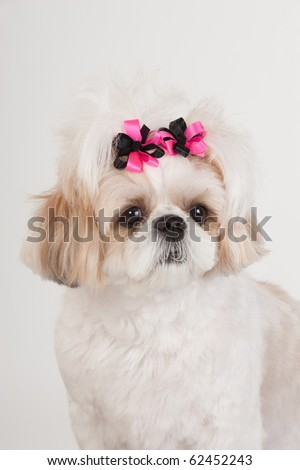 Portrait of a tan and white ShihTzu puppy with pink and black bows in her hair on a white background. - stock photo