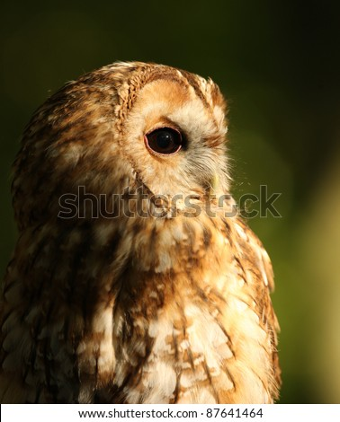 Portrait of a Tawny Owl - stock photo