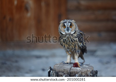 portrait of a tawny owl (Strix aluco) - stock photo
