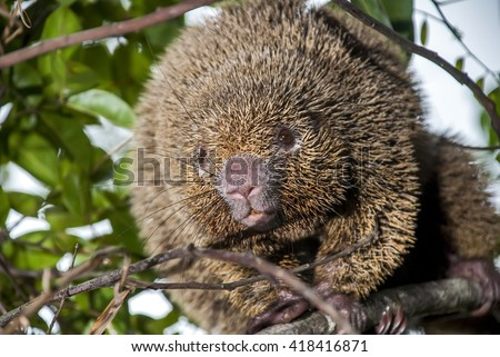 Portrait of a thin-spined porcupine in a tree.