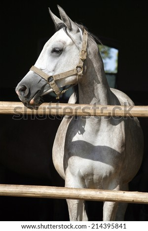 Portrait of a thoroughbred arabian horse. Beautiful purebred gray arabian horse standing in the barn door. - stock photo
