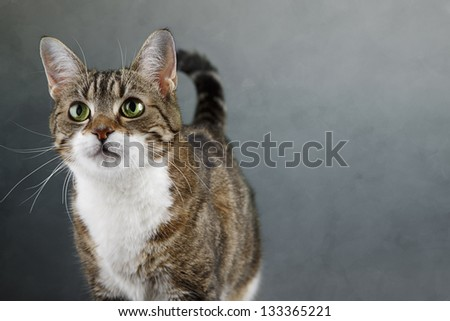Portrait of a three colored housecat looking forward
