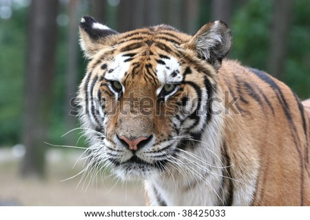 portrait of a tiger - angry look