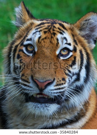 Portrait of a tiger cub looking in the lens