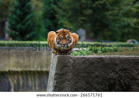 Portrait of a tiger sitting in a unusual posture on the edge in the Warsaw Zoo - stock photo