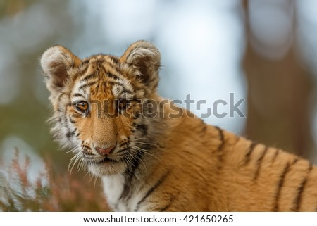 Portrait of a tiger very close and in detail. With glorious light shining from behind. In the background are trees. - stock photo