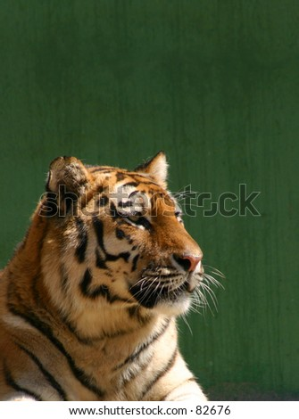 Portrait of a tiger with dark green background