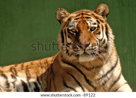 portrait of a tiger with dark green background - stock photo
