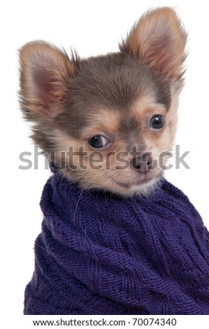 Portrait of a tiny Chihuahua dog with a blue sweater