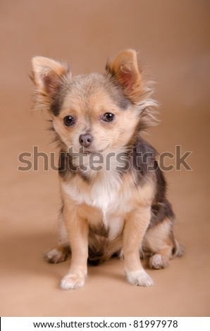 Portrait of a tiny Chihuahua puppy of light brown background - stock photo
