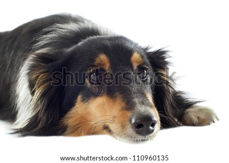 portrait of a tired shetland dog in front of white background