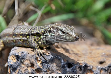 Portrait of a Tizon Lizard. Little reptile