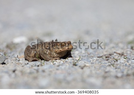 Portrait of a toad in spring