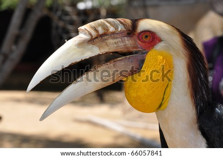 Portrait of a Toucan and its big beak. Bali, Indonesia. - stock photo