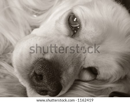 portrait of a trusting cocker spaniel - stock photo