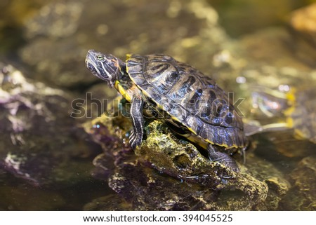 Portrait of a turtle on a rock in the water - stock photo
