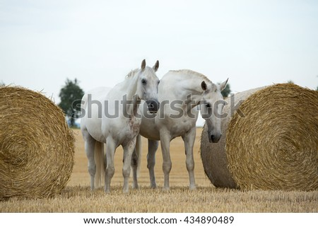 Portrait of a two nice white horses in the field  - stock photo