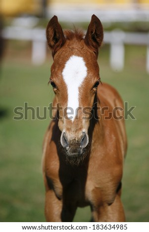 Portrait of a two weeks old thoroughbred foal - stock photo