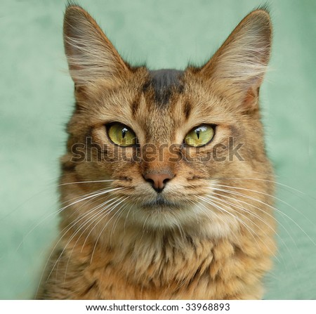 portrait of a usual somali cat - stock photo