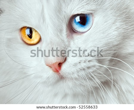 Portrait of a  varicoloured eyes white cat... - stock photo