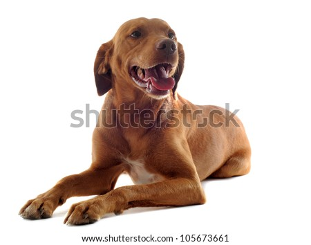 portrait of a vizsla with  in front of white background - stock photo