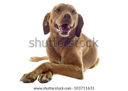 portrait of a vizsla with pampered paw in front of white background