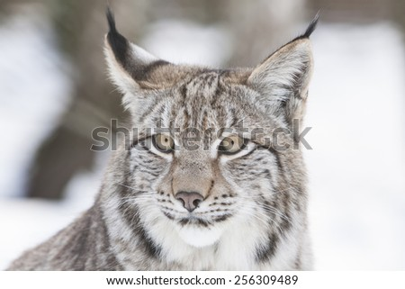 portrait of a watchful lynx head in the snow of a winter forest - stock photo