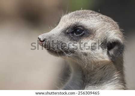 portrait of a watchful meerkat, South Africa - stock photo