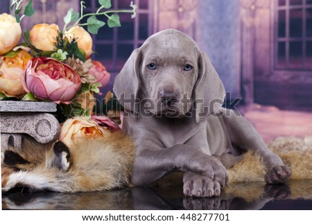 Portrait of a weimaraner puppy 2 months - stock photo