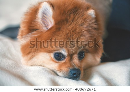 portrait of a well-groomed dog Spitz