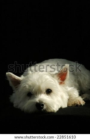 portrait of a west highland terrier on black