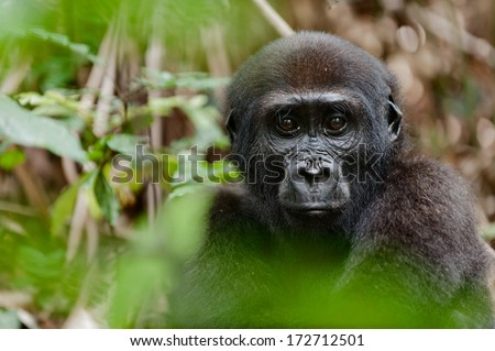 Portrait of a western lowland gorilla (Gorilla gorilla gorilla) close up at a short distance.  Congo. Africa - stock photo