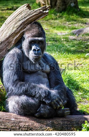 Portrait of a western lowland gorilla (Gorilla gorilla gorilla) close up at a short distance. Silverback - adult male of a gorilla in a native habitat. - stock photo