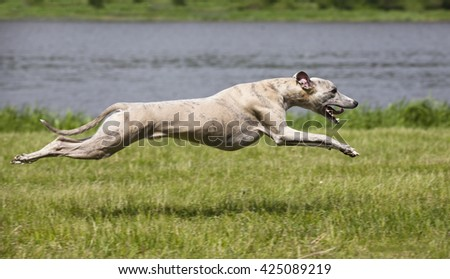 Portrait of a whippet - stock photo