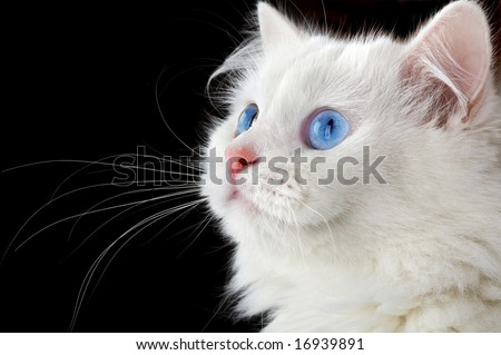 Portrait of a white cat on a black background...